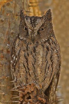 Male Malagasy owl Madagasca