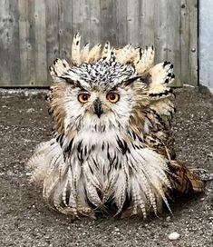 In Europas einzigartigem Greifvogel- und Eulenpark, inmitten historischer Burgmauern, leben verschiedenste Greifvogel- und Eulenarten. Aufgrund der professionellen Betreuung durch erfahrene Falkner führen die Tiere in ihren artgerechten Volieren ein völlig entspanntes und stressfreies Leben. Themen: Owls, schöne Orte, funny animals, Ausflugstipp in der Urlaubsregion Villach - Ossiacher See in Kärnten. Owl, Animals, Horned Owl, Owl Babies, Villach, Eagles, Animales, Animaux, Owls