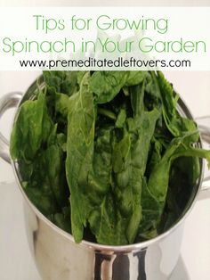 Tips for Growing Spinach in Your Garden - How to grow spinach from seed, how to transplant spinach seedlings, when and how to harvest spinach plants.