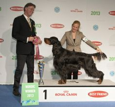 Nordic Winner 2013. FCI 7: Goango Black Booms, Gordon Setter