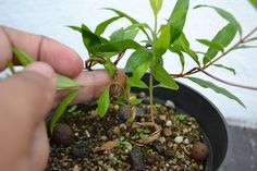 Growing Bonsai From Seed