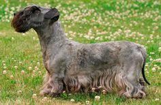 Esse cão, cujo nome de origem é Ceský Teriér, surgiu na República Checa e é o resultado do cruzamento entre um Sealyham Terrier e uma Scottish Terrier. O objetivo era criar uma raça de Terrier de caça. Por volta de 1959, esses animais foram apresentados pela primeira vez e, em 1963, a espécie foi reconhecida pela FCI.   #CeskyTerrier #Raçadecachorro #TerrierCheco