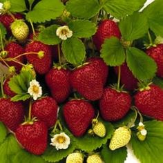tip for growing strawberries