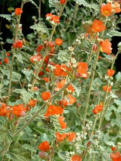 A favorite evergreen shrublet with fuzzy, silvery, crenulated leaves and cupped flowers in shades of brilliant orange to watermelon red. Blooms in early spring and after the unusual summer rain. Name: Sphaeralcea ambigua Growing Conditions: Dry growing af Sun Plants, Desert Plants, Shade Plants, Zone 10 Plants, Desert Flowers, Dry Garden, Garden Plants, Prairie Garden, Shaded Garden