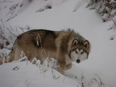 Winter Wolf Dog Breeds
