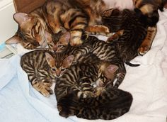 How sweet the mom and her babies. Toygers cats.