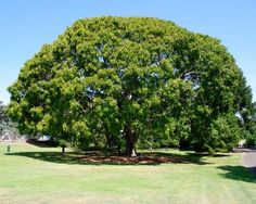 Ficus Lutea also known as Ficus Vogelii and the West African Rubber Tree     Giant-leaved Fig     Reuseblaarvy    25 m