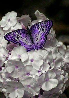 Butterfly on Phlox paniculata