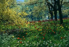 Drifts of tulips growing under trees in the gardens of mainau, lake constance