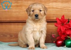 This Golden Retriever puppy will make you fall head over heels in love with him the moment you see him! He is cute as a button and has an amazing Baby Puppies For Sale, Super Cute Puppies, Aussie Puppies, Labrador Golden Retriever, Retriever Puppy, Labrador Puppies, Corgi Puppies, Equine Photography, Animal Photography