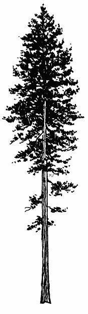 ponderosa pine silhouette - Google Search