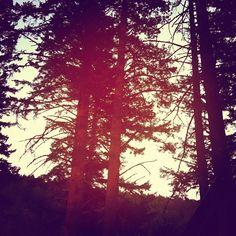 California Pines. California nature. Kate Targan Music.