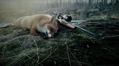 """""""Fox in the dusk"""" featuring Husqvarna nitro .222 rem and V-max ammunition. By @emilbeengtsson  tag your hunting related pictures with  #swedenishunting for a chance to be featured in our account  by swedenishunting"""