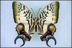 Polyura Dehanii -Female -Verso -West Java, Indonesia -(3 in wingspan)