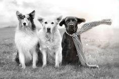 flying ears: Savannah, Mali and Chester - Mr. Golden Retriever, facebook