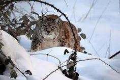 Sembra proprio un bel gattone sornione questa lince!  Il meraviglioso esemplare è ospitato nell'Area Faunistica di Civitella Alfedena (Aq), nel Parco Nazionale d'Abruzzo.  Foto di Carmine Mozzillo What A Beautiful World, Animals And Pets, Panther, National Parks, Italy, Type 1, Facebook, Lynx, Fotografia