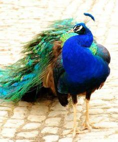 stuttin peacock