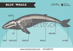 Blue whale skeleton.