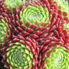 18 ways to color your garden this fall: Hen and chicks  (© Wikipedia Commons)