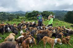 At a rescue facility in Costa Rica, these stray dogs have found solace roaming free across the tropical mountain land.