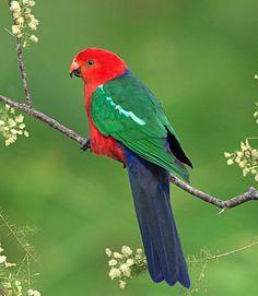 Australian King Parrot (Alisterus scapularis), endemic to eastern Australia. All Birds, Cute Birds, Pretty Birds, Exotic Birds, Colorful Birds, Beautiful Creatures, Animals Beautiful, Australian Parrots, Most Beautiful Birds