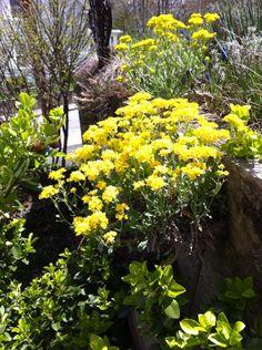 Pot of gold 5/16 perennial