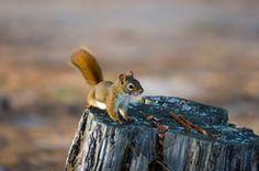 Das Eichhörnchen ist ein weit verbreiteter Waldbewohner...