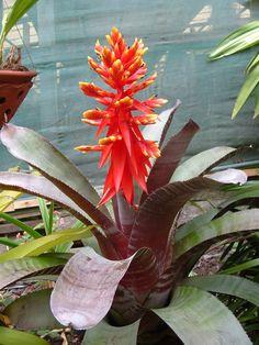 Achmea Chantini - a beautiful bromeliad