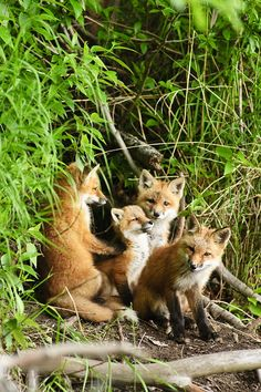 """Four Young Fox """"Kits"""" (or Cubs) near their Den. (N.B: A Group of Foxes together is called: A """"Skulk"""" or a """"Leash."""")"""
