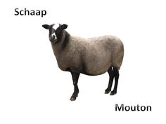 Schaap - Mouton
