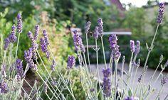 Garten - Lavendel