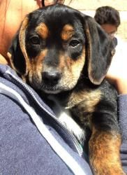 Pup Molly Malone is an adoptable Plott Hound Dog in Washington, DC. FOSTER or ADOPT PUP MOLLY MALONE!? Foster Program: ?? Foster homes provide for the temporary care of a rescue until the dog is place...