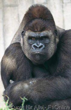 (Gorilla+gorilla),+Flachlandgorilla,+Affe