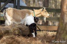 serenbe, carla royal blog, serenbe blog, baby goat, nature photos-7