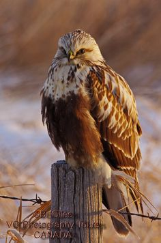 First Light Rough-legged Hawk by Barry Giles on 500px