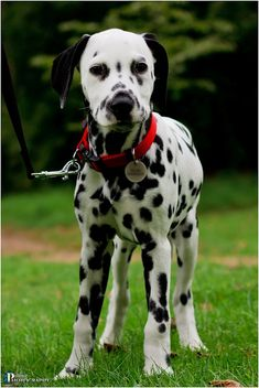 Someone asked me the other day, what is it with Dalmatians and red? Um..what color is a traditional fire truck?