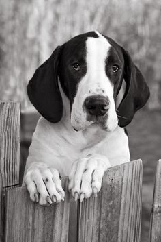 Great dane puppy Looks like Drake <3 awww