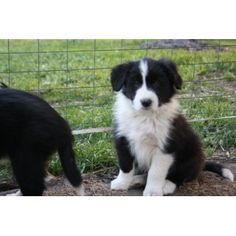 Border Collie Purebred Puppies for sale in Snake Valley, Victoria | Doggish Australia