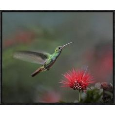 "Global Gallery Rufous-Tailed Hummingbird at Fairy Duster Flower, Costa Rica by Tim Fitzharris Framed Photographic Print on Canvas Size: 16"" H x 20""..."