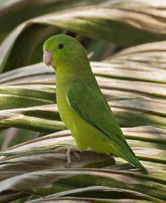 Periquito de Anteojos, Spectacled Parrotlet (Forpus conspicillatus)