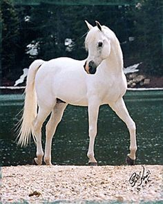 Glorieta Gazaal (Ansata Abu Nazeer x Glorieta Gambolia) 1980 Hadban Enzahi Shekyh Obeyd Straight Egyptian Stallion