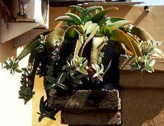 Kalanchoe daigremontiana House Plants, 1, Plants, Plants For Home, Houseplants
