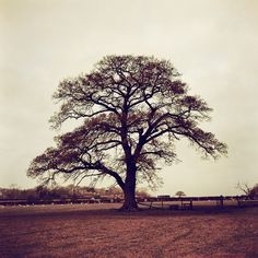 Oak Tree in Redscale Revisited by slimmer_jimmer, via Flickr