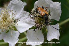 Petit insecte dans une fleur se nourrissant de pollen #insecte #fleur