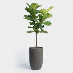 Fiddle leaf fig indoor plants we all like & are non-toxic to