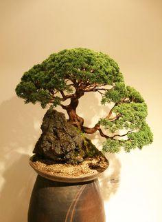 http://bonsaibark.com/wp-content/uploads/kor5.jpg