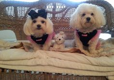 omg so cute .such a cutie family ,. Maltese Puppies, Cute Puppies, Maltipoo, Funny Dog Pictures, Paw Prints, Pet Stuff, Shaggy, Hugs, Funny Dogs