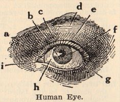 Vintage Clip Art - Eye Diagram - The Graphics Fairy