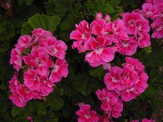 Najobľúbenejší balkónový kvet je bezpochyby muškát. Svoje krásne kvety vystavuje okoliu pomerne dlhú dobu, aaj preto ho vo veľkom kupujú asadia všetky milovníčky čarovných kvetinových zákutí. Nie každému muškátu sa však darí avyzerá tak, ako tie na obrázkoch. Ak chcete mať naozaj husté abohaté muškáty, postačí vám na to len kvapka tej správnej ingrediencie. Zdravé …
