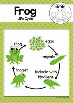 Frog Life Cycle cut and paste unit. A page from the unit: classroom poster with life cycle stages Frog Crafts Preschool, Preschool Classroom, Science Activities For Kids, Kindergarten Activities, Sequencing Activities, Lifecycle Of A Frog, Frog Life, Frog Theme, Pond Life